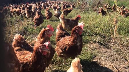 liberovo galline in libertà ecoposteria ostia